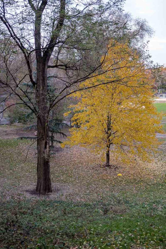 Morningside Autumn Tree