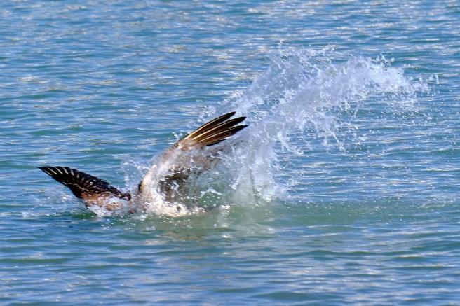 landing, Sarasota Bay, Florida