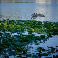 Pelican, Dusk